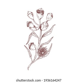Eucalyptus flower with blossomed buds and burgeons. Sketch or outlined drawing of floral element isolated on white background. Vintage botanical art. Hand-drawn vector illustration in retro style