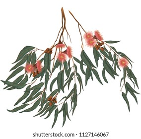 Eucalyptus gum leaves and flowers botanical, floral illustration