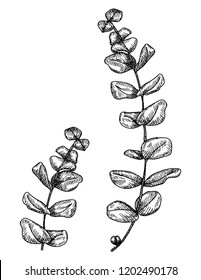 Eucalyptus hand drawn ink illustration. Vector black and white drawing of round-leaved blue gum, or Eucalyptus deanei