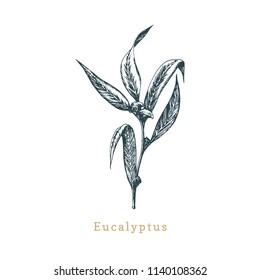 Eucalyptus, hand drawn sketch. Botanical illustration of organic, officinalis plant. Used for logo, sticker, label etc.