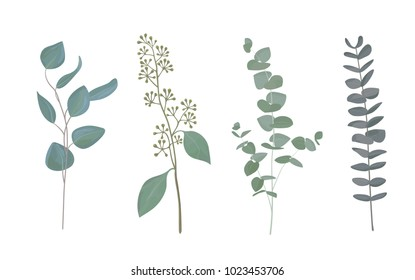 Eucalyptus leaf collection in rustic watercolor style. Set of silver dollar eucalyptus tree foliage, natural seeded, gunni and baby blue eucalyptus tree leaves