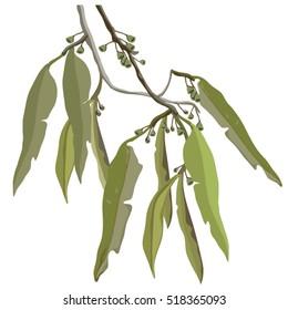 Eucalyptus leaves and Gumnuts Illustration