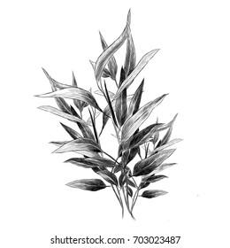 eucalyptus leaves sketch vector graphics monochrome branch