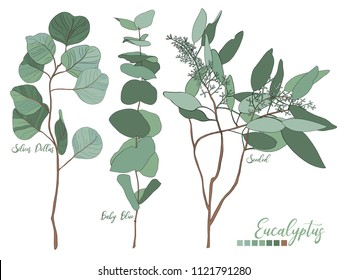 Eucalyptus seeded, silver dollar, baby blue tree leaves art designer, foliage, elements of natural branches in rustic style set collection.