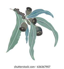 Eucalyptus Seeds and leaves tree branch Vector