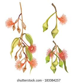 Eucalyptus Tree orange flowers Vector