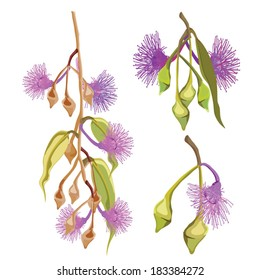 Eucalyptus Tree purple flowers Vector