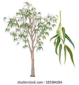 Eucalyptus Tree Vector