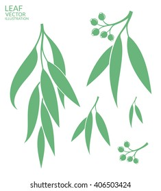 Eucalyptus tree. Vector illustration. Fresh eucalyptus on white background.
