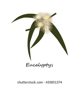 Eucalyptys Flower. Honey planty. Botany. Honey flower colorful illustration. Isolated on white background. Vector eps10
