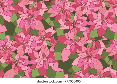 Euphorbia pulcherrima - red and pink flower of winter and christmas