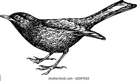 Eurasian Blackbird (Turdus merula)