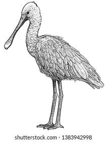 Eurasian spoonbill illustration, drawing, engraving, ink, line art, vector