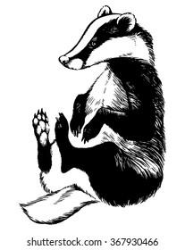 european badger - animal illustration
