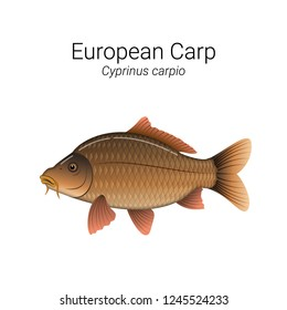European Carp fish illustration