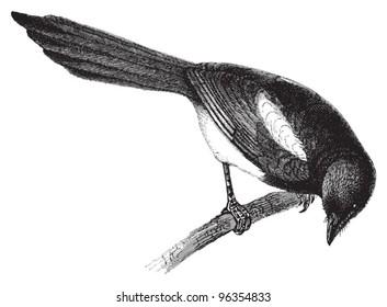 European Magpie (Pica caudata) / vintage illustration from Meyers Konversations-Lexikon 1897