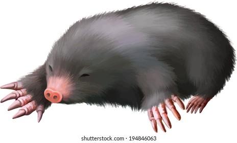 European Mole, Talpa europaea, against white background