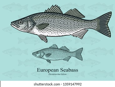 European Sea Bass. Vector illustration with refined details and optimized stroke that allows the image to be used in small sizes (in packaging design, decoration, educational graphics, etc.)
