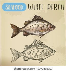 European white perch sketch. Signboard with hand drawn silver bass, crappie, river seafood animal. Perca for sport fishing trophy or restaurant menu. Aquatic fauna and underwater, nautical, fish theme