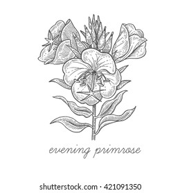 Evening primrose flower. Vector plant isolated on white background. Designed to create package of health and beauty natural products