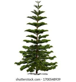 Evergreen coniferous araucaria diverse (Araucaria heterophylla L., Norfolk pine, Norfolk Island pine, Polynesian pine), colored vector image on white background