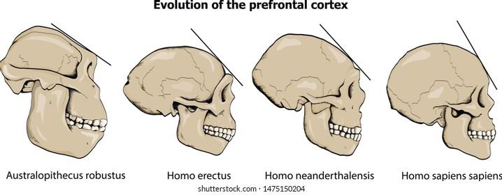 Evolution of the prefrontal cortex