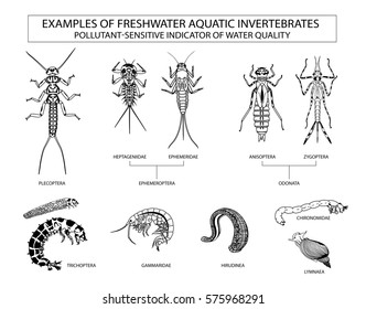 Examples of aquatic invertebrates, water quality indicators
