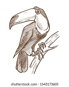 Exotic bird toucan, tropical flying animal with big beak isolated sketch vector. Jungle species on branch drawing, African rainforest fauna.Wildlife and nature or environment, feathers and plumage