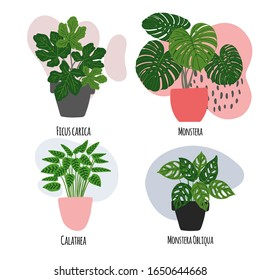 Exotic flowers. Houseplants. Tropical plants in pots. Hypostes, Ficus carica, Monstera, Aloe, Ficus elastica, Calathea, Monstera Obliqua, Monstera