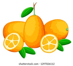 Exotic fruit kumquat with green leaves. Fresh fruit cartoon style. Flat vector illustration isolated on white background. Whole and cut orange juice kumquat.