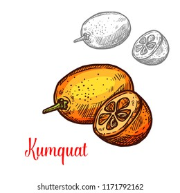 Exotic fruit kumquat vector image. Fresh exotic fruit kumquat vector design. Kumquat hand drawn design isolated on white background. Exotic tropical fruit image, vegetarian food concept