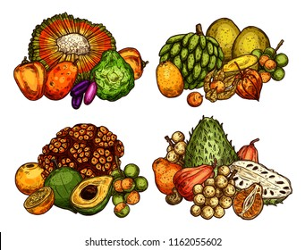 Exotic fruits sketch harvest of longkong, soursop apple or mombin and pandan, naranjilla or jambolan and bergamot fruit, lucuma or tangerine and physalis. Vector design for tropical farm market