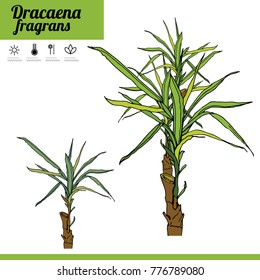 Exotic plant Dracaena isolated on white background. Tipical room plant grown  indoors for home decoration. Various color.