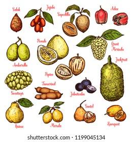 Exotic tropical fruits sketch. Vector isolated salak, jujube or sapodilla and ackee apple, ambarella or pepino fruit and jackfruit, tamarind or jabuticaba and kumquat or santol