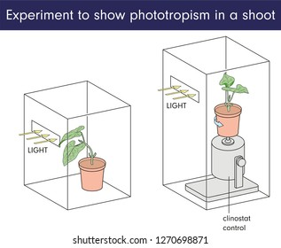 Experiment to show phototropism in a shoot
