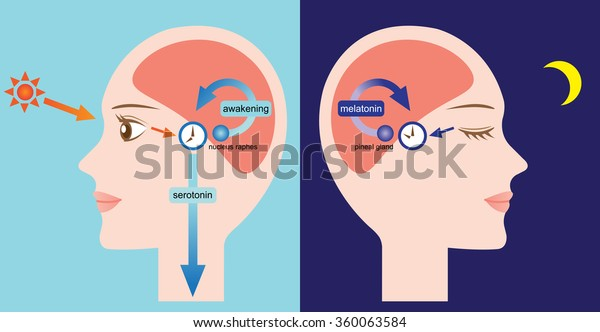 exposure to sunlight increase the serotonin. the pineal gland starts the synthesis of melatonin from serotonin at night/diagram of circadian rhythm