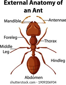 External Anatomy of an Ant on white background illustration