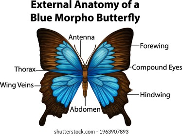 External Anatomy of a Blue Morpho Butterfly on white background illustration