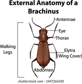 External Anatomy of a Brachinus on white background illustration