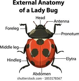 External Anatomy of a Lady Bug on white background illustration