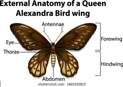 External Anatomy of a Queen Alexandra Bird wing on white background illustration