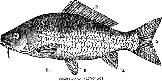 External characters of a Teleostean: R. Dorsal unpaired fin; S. homocercal caudal fin; A. anal fin; B. B. pectoral and pelvic paired fins, vintage line drawing or engraving illustration.