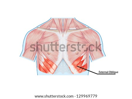 External Oblique Muscles Chest Thorax Brisket Stock Vector (Royalty ...