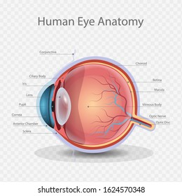 Eye Anatomy, Knowledge of Human eye anatomy, Vector Illustration, Isolated, Drawing, Banner, Advertising.