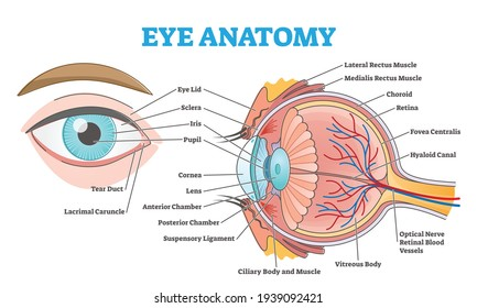 Eye anatomy with labeled structure scheme for human optic outline diagram. Educational physiological and medical sight infographic with side and front view for retina lens study vector illustration.
