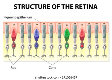 Cone cell images stock photos vectors shutterstock eye and vision structure of the retina rods and cones vector diagram ccuart Images