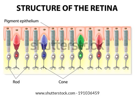 eye vision structure retina rods cones stock vector royalty free rh shutterstock com