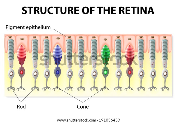 eye and vision  structure of the retina  rods and cones  vector diagram