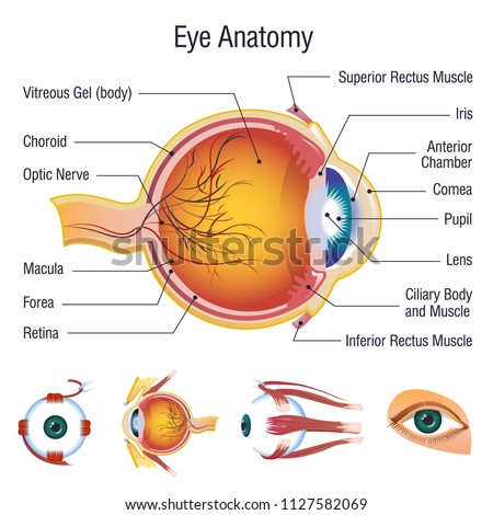 eyeball infographic anatomy icons set cartoon stock vector royalty