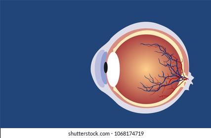 Eyeball side cut illustration vector